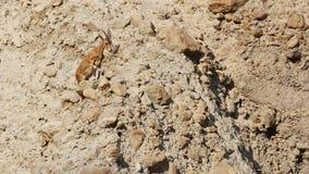 在Ein Gedi自然保护,以色列的上升的Nubian高地山羊山羊属高地山羊Nubiana 库存照片