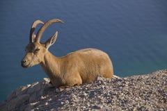 在Ein Gedi,死海,以色列附近的休息的Nubain高地山羊 免版税图库摄影