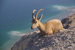 在Ein Gedi,死海, Israe附近的休息的Nubain高地山羊 图库摄影