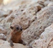 在Ein Gedi绿洲,以色列的一只滑稽的岩石非洲蹄兔 免版税图库摄影
