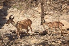 在Ein Gedi绿洲,以色列的两只Nubian高地山羊 库存照片