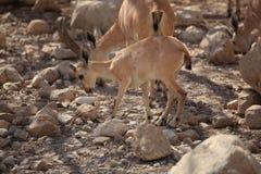 在Ein Gedi绿洲,以色列的Nubian高地山羊 图库摄影