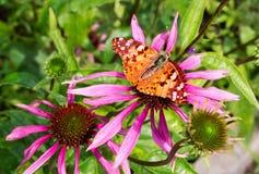 在ekhinotseiya的一朵明亮的花的美丽的蝴蝶 免版税图库摄影