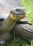 在El查托/Los Primativos大农场的加拉帕戈斯巨型草龟在圣克鲁斯海岛,加拉帕戈斯, Ecuadror上 免版税图库摄影
