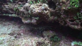 在El锅炉岩石的索乔尔罗大螯虾在从Revillagigedo群岛的Sanbenedicto海岛附近 影视素材