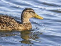 在El Dorado湖公园的鸭子 库存照片