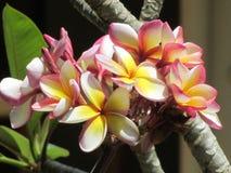 在El Nido的热带花 图库摄影