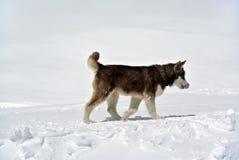 在Elbrus的爱斯基摩狗 免版税库存照片