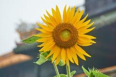 在entrence门前面的向日葵从皇家城市,颜色,越南 图库摄影
