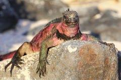 在Espanola海岛,加拉帕戈斯上的海产鬣蜥蜴国家公园, Ecuad 免版税图库摄影
