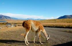 在Estancia的骆马之类 免版税库存照片