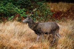 在etive的幽谷的鹿 库存图片