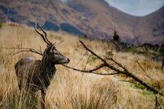 在etive的幽谷的鹿 免版税库存照片