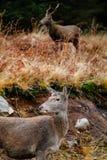 在etive的幽谷的鹿 免版税库存图片
