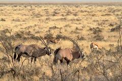 在Etosha公园的大草原的羚羊属羚羊在纳米比亚 库存照片