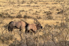 在Etosha公园的大草原的羚羊属羚羊在纳米比亚 免版税库存照片