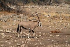 在Etosha公园的大草原的羚羊属羚羊在纳米比亚 库存图片