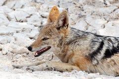 在Etosha公园的支持黑的狐狼(犬属mesomelas) 免版税图库摄影