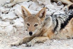 在Etosha公园的支持黑的狐狼(犬属mesomelas) 图库摄影