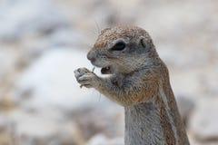 在etosha的地松鼠 免版税图库摄影
