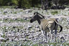 在etosha的斑马 免版税库存照片