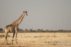 在Etosha的长颈鹿 库存图片