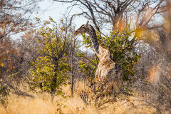 在Etosha bushveld的安哥拉长颈鹿  库存图片