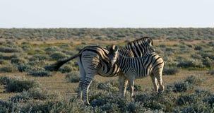 在Etosha waterhole,纳米比亚野生生物徒步旅行队的斑马 股票视频