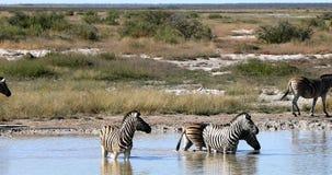 在Etosha waterhole,纳米比亚野生生物徒步旅行队的斑马 股票录像