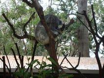 在eucaliptus树的考拉 澳洲 图库摄影