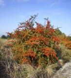 在Evzonoi村庄附近的莓果灌木 希腊 库存照片