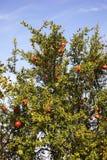 在Evzonoi附近的石榴树 希腊 免版税库存照片
