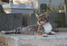 在Eyup公墓的猫 图库摄影