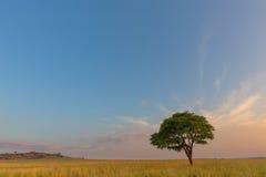 在Ezemvelo NR的孤立树 库存照片