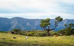 在Fanal森林国家公园小山的母牛马德拉岛海岛的 免版税库存照片