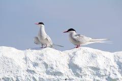 在Farne海岛的北极燕鸥 库存照片