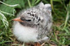 在Farne海岛,诺森伯兰角,英国上的北极燕鸥小鸡 免版税图库摄影
