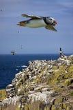 在Farne海岛-英国的海鹦 免版税图库摄影