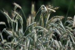 在field_10的绿色黑麦 免版税库存图片