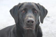 在Finlands多雪的自然的拉布拉多猎犬 库存图片