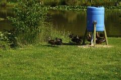 在Fishing湖的鸭子 库存图片