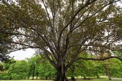 在Fitzroy庭院的极大的无花果树,墨尔本 免版税库存图片