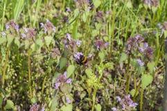 在flover的土蜂 免版税库存图片