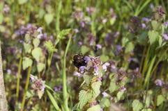 在flover的土蜂 图库摄影