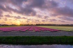 在flowerfield的日落 免版税图库摄影