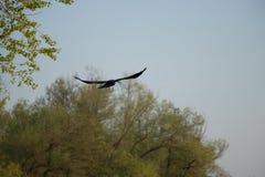 在flyght的一只乌鸦 图库摄影