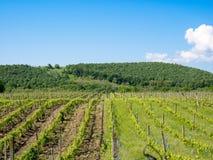 在Focsani,罗马尼亚附近的葡萄园,在春天 图库摄影