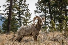 在foresr的比格霍恩公绵羊或公羊羊属canadensis大哺乳动物在不列颠哥伦比亚省加拿大东部 库存照片