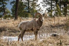 在foresr的比格霍恩公绵羊或公羊羊属canadensis大哺乳动物在不列颠哥伦比亚省加拿大东部 免版税库存图片
