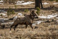 在foresr的比格霍恩公绵羊或公羊羊属canadensis大哺乳动物在不列颠哥伦比亚省加拿大东部 免版税图库摄影
